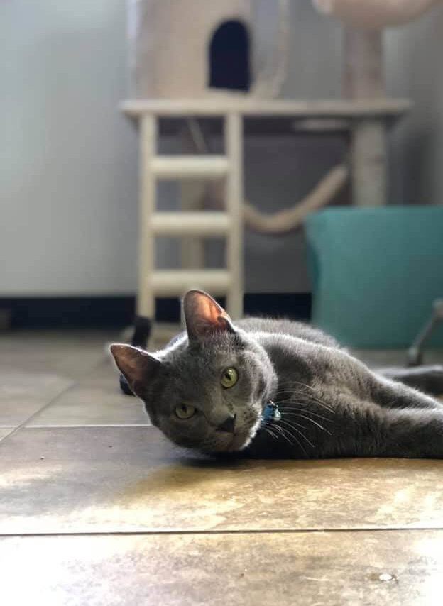 Gray cat laying on floor